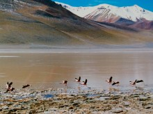 Flamingos in the Atacama desert in Bolivia