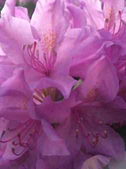 Rhododendron bush in my garden
