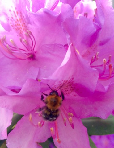 Bee on the rhododendron bush in my garden