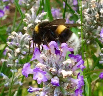 Bee on the lavender bush in my garden