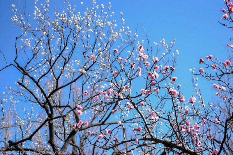 ume-and-sakura-blossom-8