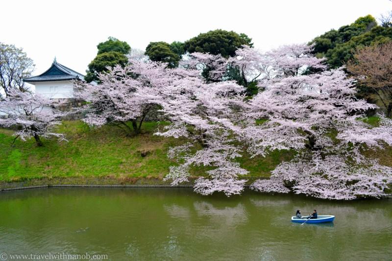 cherry-blossom-tokyo-18