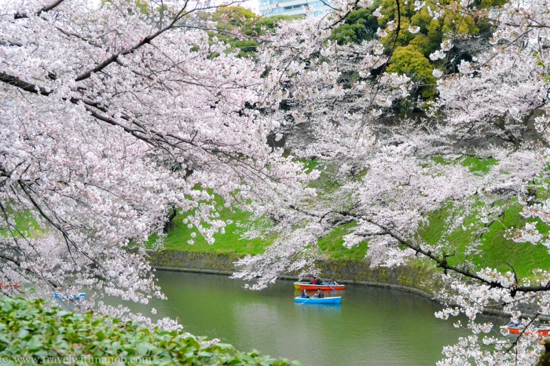 cherry-blossom-tokyo-23