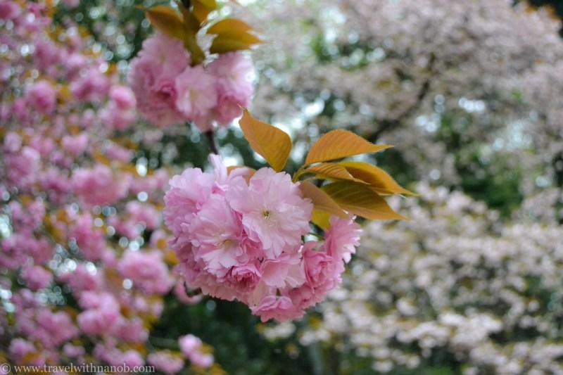 yaezakura-cherry-blossom-17