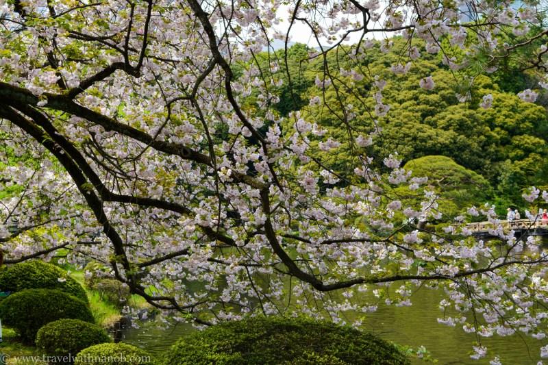 yaezakura-cherry-blossom-23