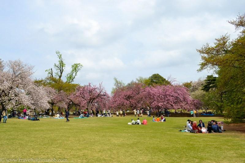 yaezakura-cherry-blossom-39