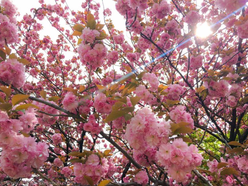 yaezakura-cherry-blossom-52