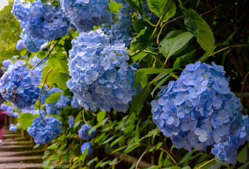 hydrangea-in-kamakura-japan-30