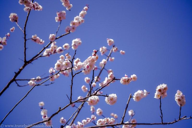 ume-and-sakura-blossom-3