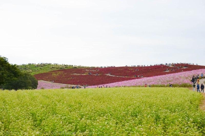kochia-hitachi-seaside-park-17