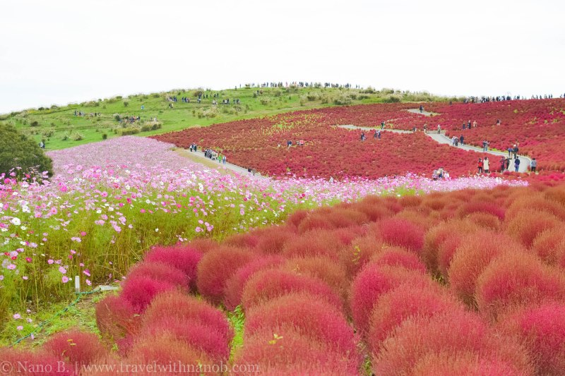 kochia-hitachi-seaside-park-20