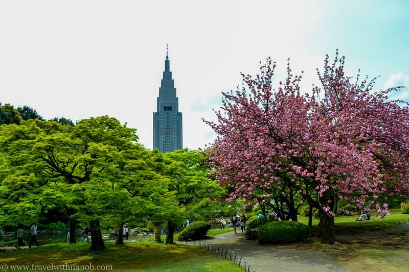 yaezakura-cherry-blossom-37