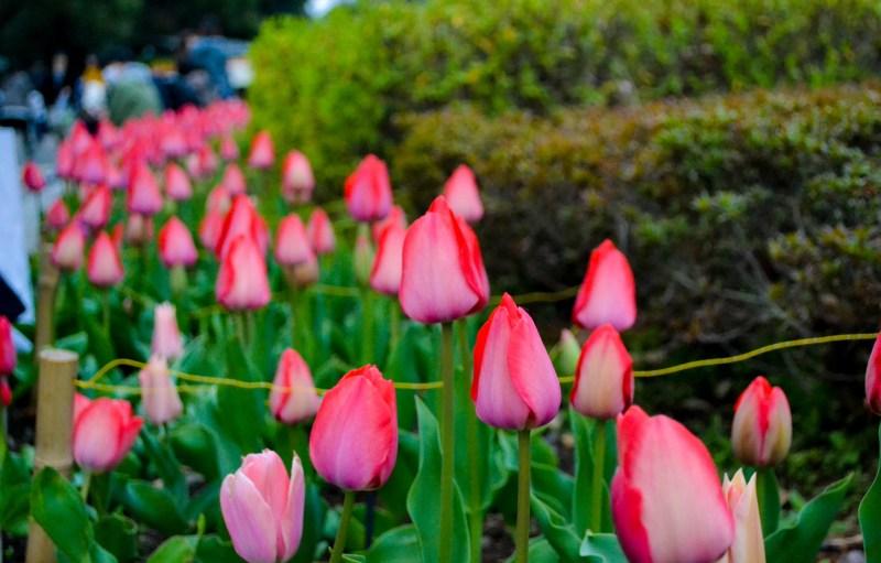 japan-flower-festivals-4
