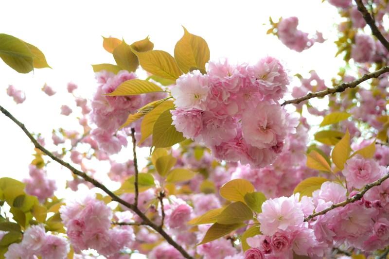 yaezakura-cherry-blossom-12