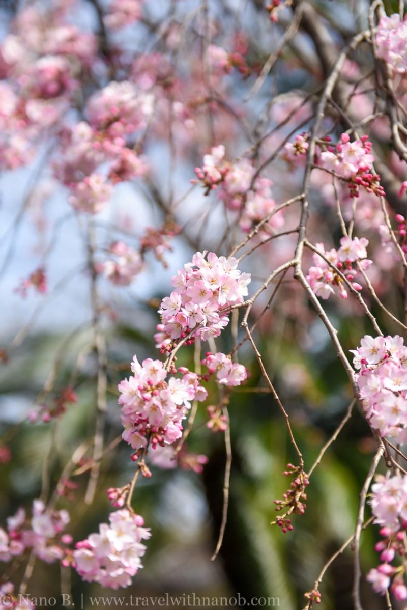 cherry-blossom-tokyo-19