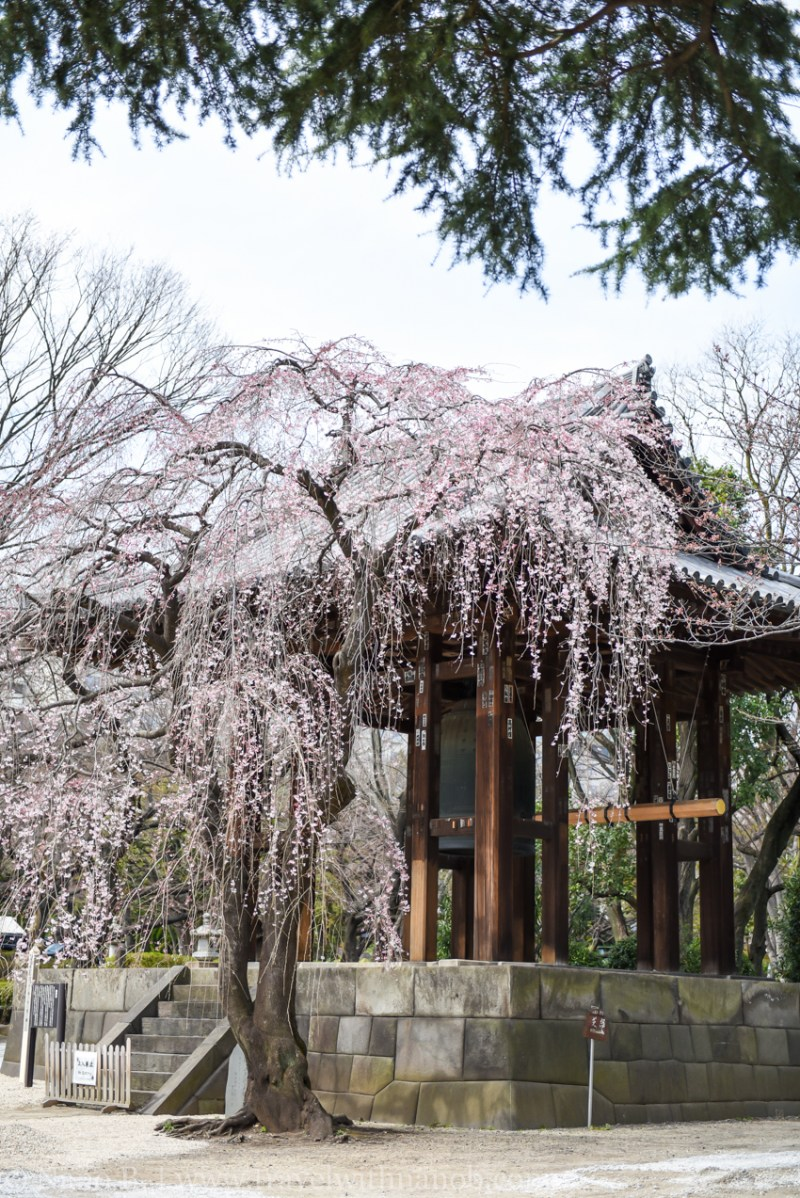 cherry-blossom-tokyo-2