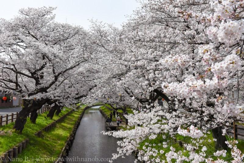 Kawagoe-Cherry-Blossom-23