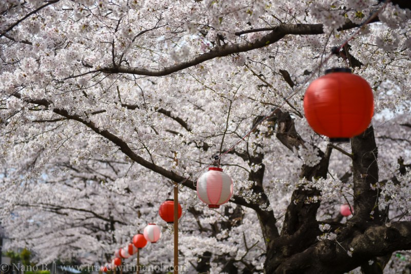 Kawagoe-Cherry-Blossom-27