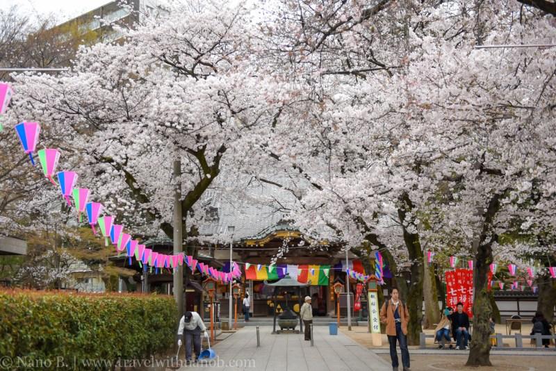 Kawagoe-Cherry-Blossom-75