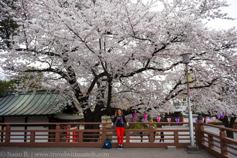 Kawagoe-Cherry-Blossom-92