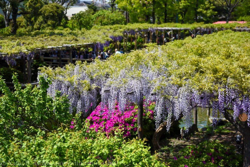 wisteria-in-kameido-tenjin-1