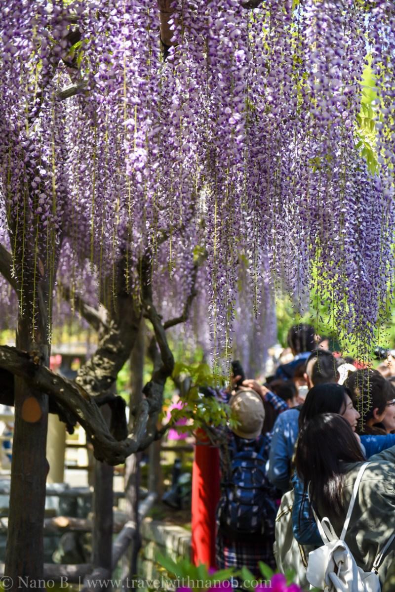 wisteria-in-kameido-tenjin-10