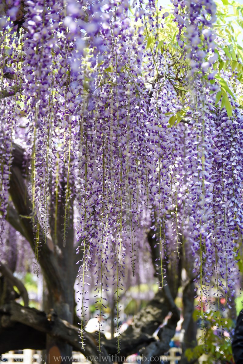 wisteria-in-kameido-tenjin-14