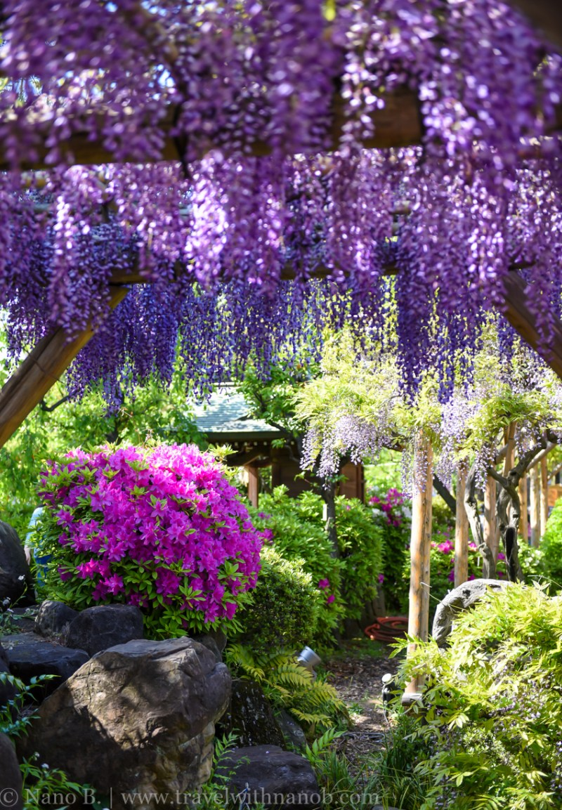 wisteria-in-kameido-tenjin-40