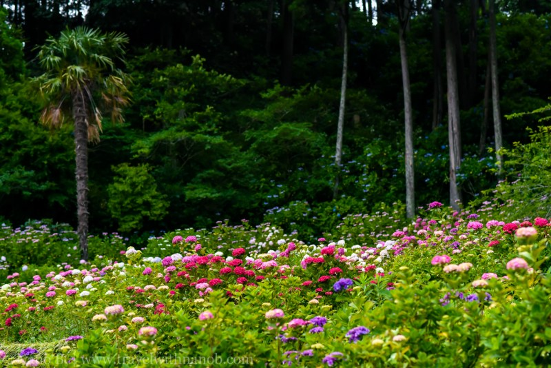 chiba-hydrangea-garden-40