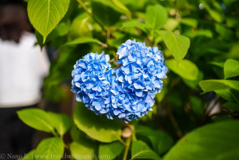 chiba-hydrangea-garden-5