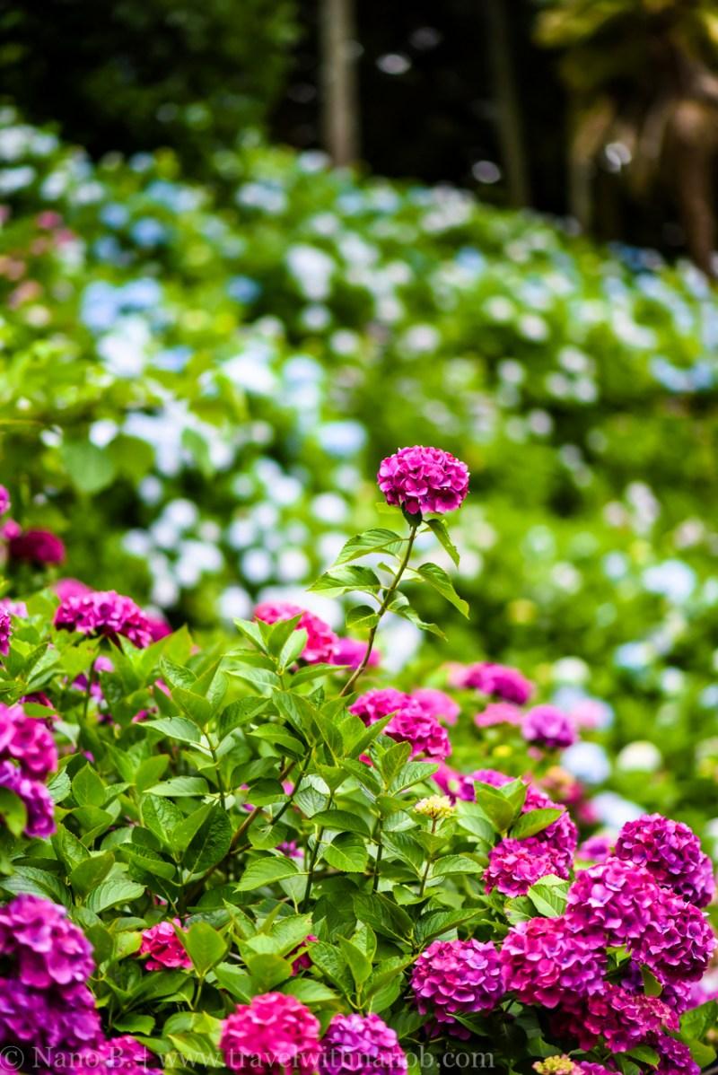 chiba-hydrangea-garden-57