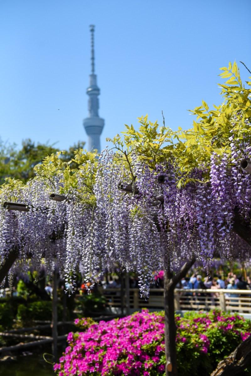 wisteria-in-kameido-tenjin-3