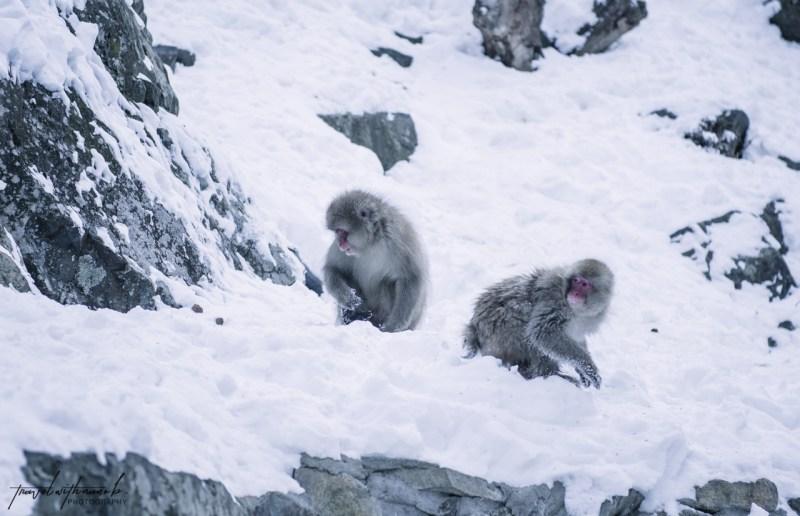 japanese-snow-monkeys-jigokudani-nagano-14