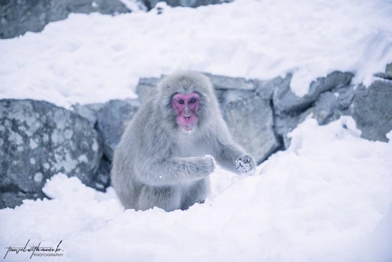 japanese-snow-monkeys-jigokudani-nagano-17