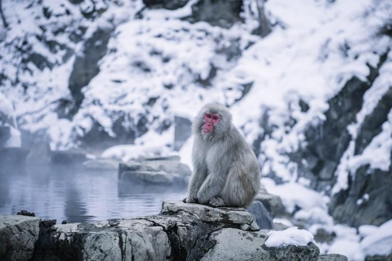 japanese-snow-monkeys-jigokudani-nagano-31