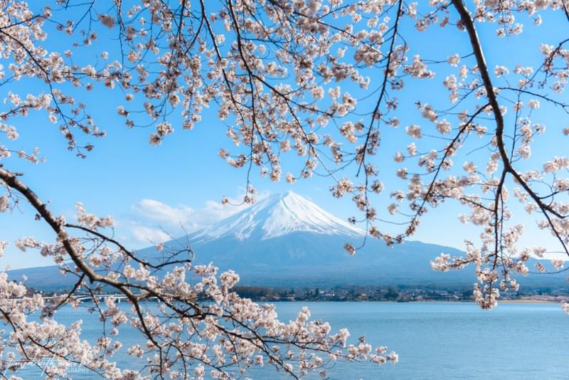 cherry-blossoms-mt-fuji-japan-26