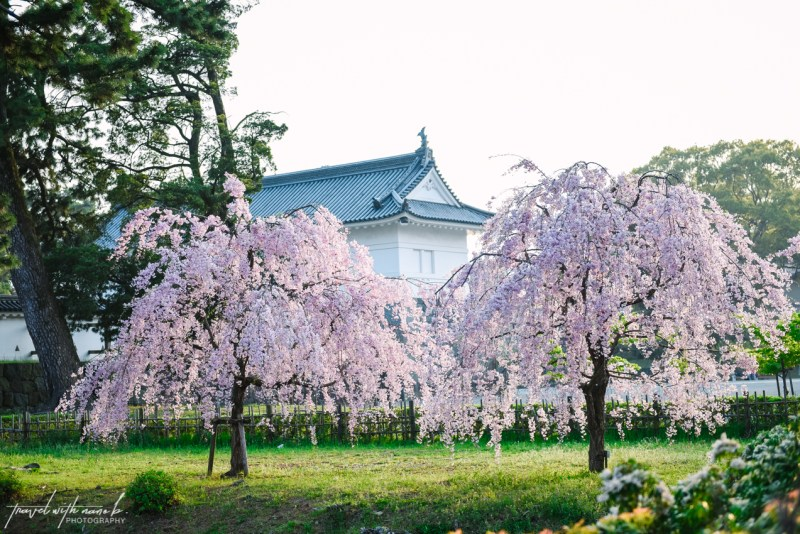 cherry-blossoms-odawara-10