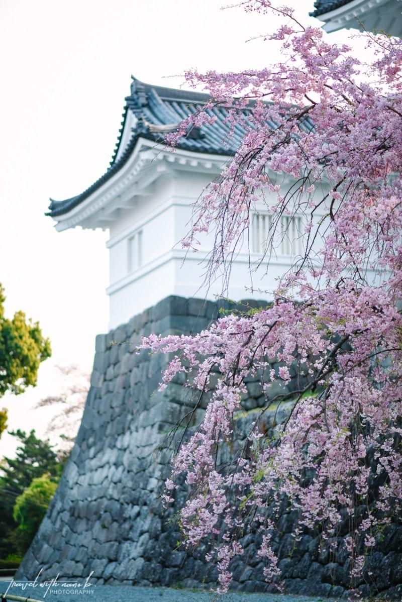 cherry-blossoms-odawara-19