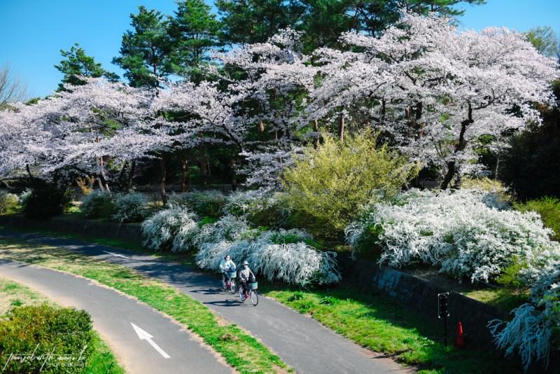 cherry-blossoms-tokyo-1