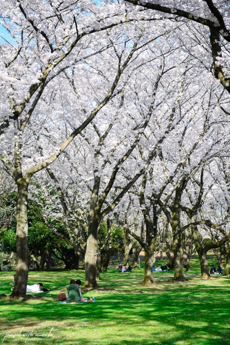 cherry-blossoms-tokyo-21