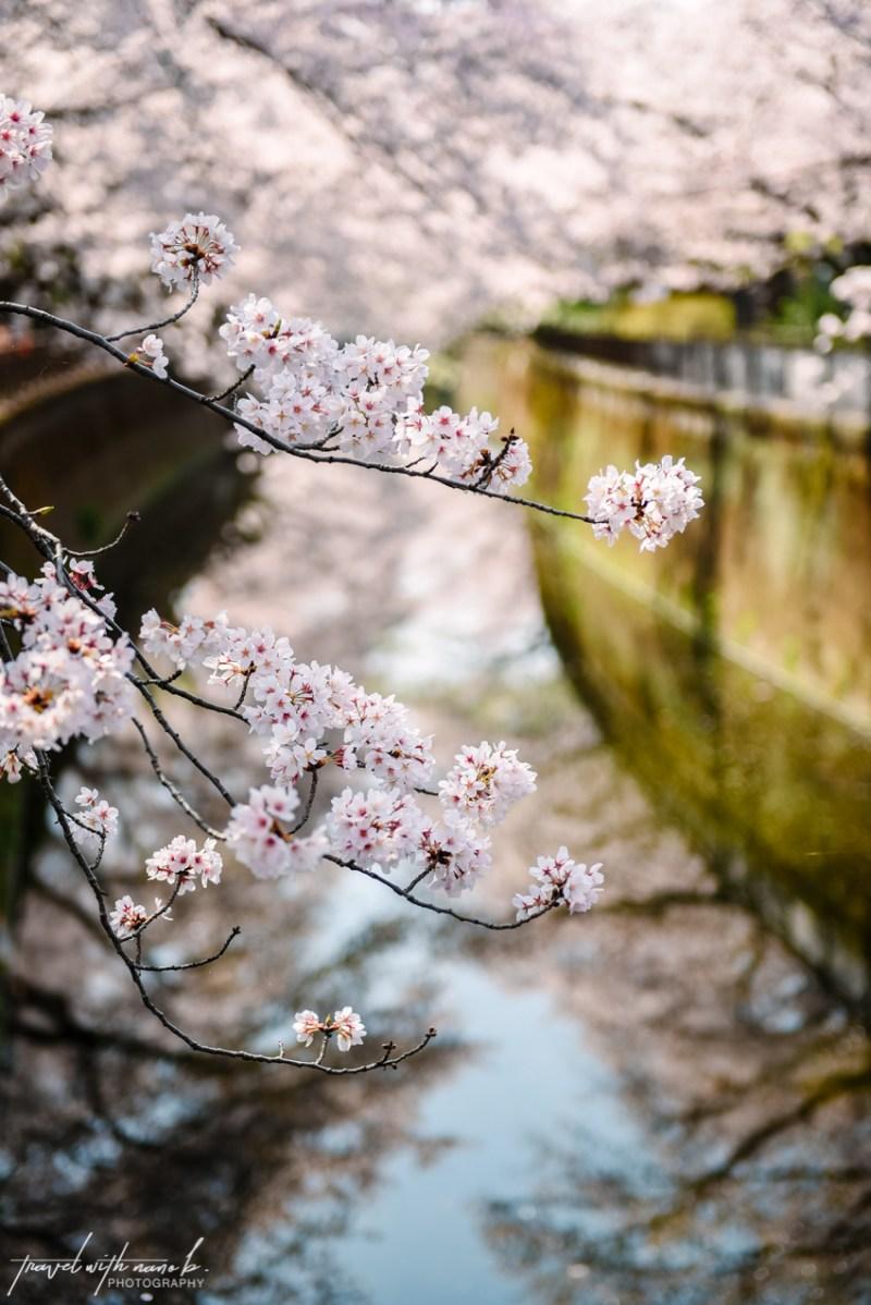 cherry-blossoms-tokyo-23