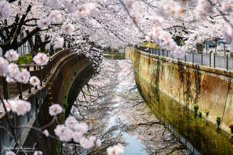 cherry-blossoms-tokyo-24