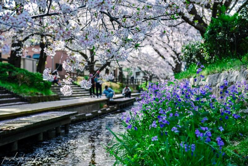 cherry-blossoms-tokyo-34
