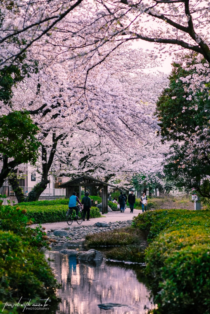 cherry-blossoms-tokyo-36