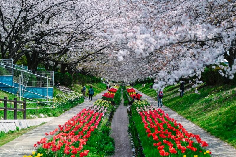 cherry-blossoms-yokohama-11