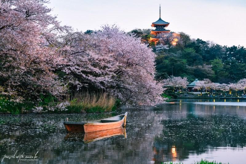 cherry-blossoms-yokohama-32