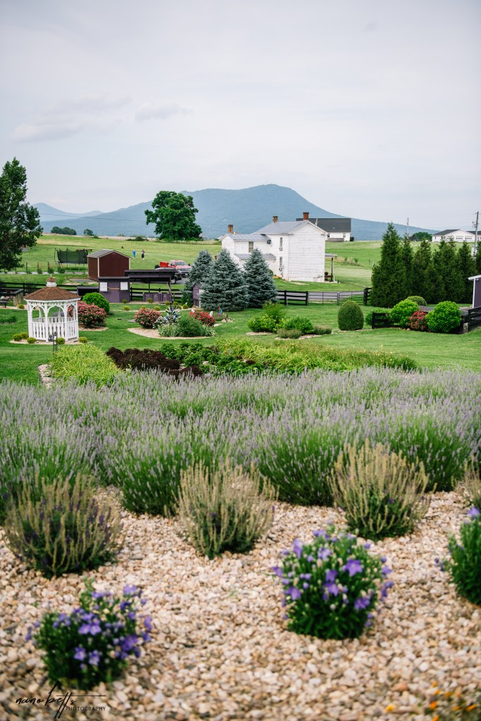 White Oak Lavender Farm & The Purple WOLF Vineyard. Best Fragrant Lavender Farms in Virginia and Maryland.
