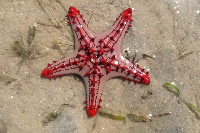 Beautiful starfish with contrasting red and pink colors in Mozambique