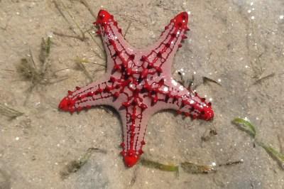 Beautiful starfish on Mozambique beach.