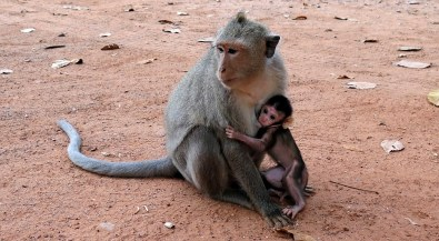 Mother monkey with child near Angkor Wat